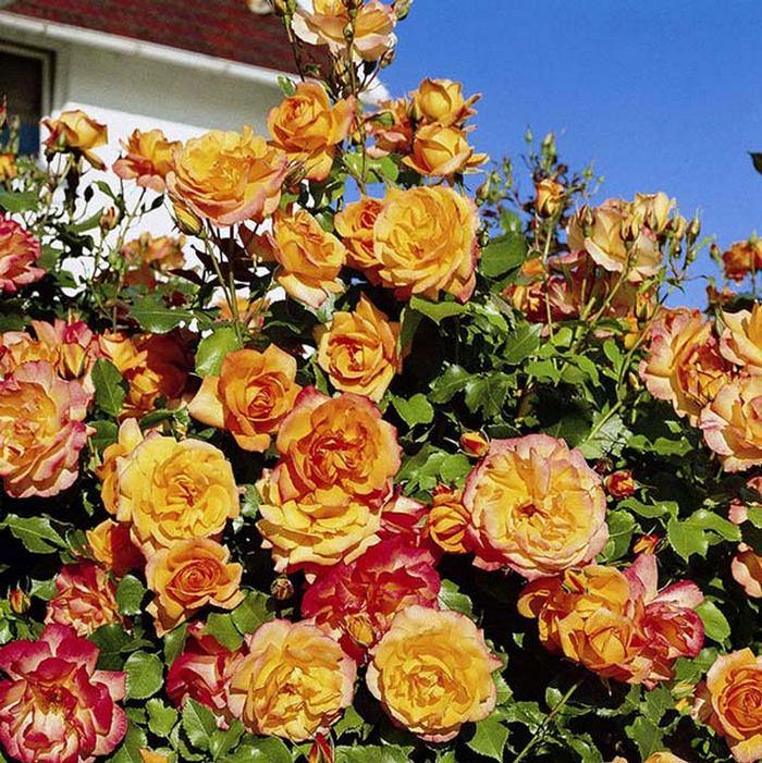 Плетистая роза цветет как шиповник 4